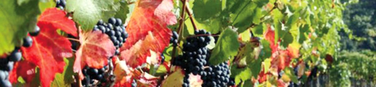 Gallo Vini